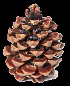 pine nuts, pignoli, pine flavour, pine cone, pineflavour, pinhão, pinoli