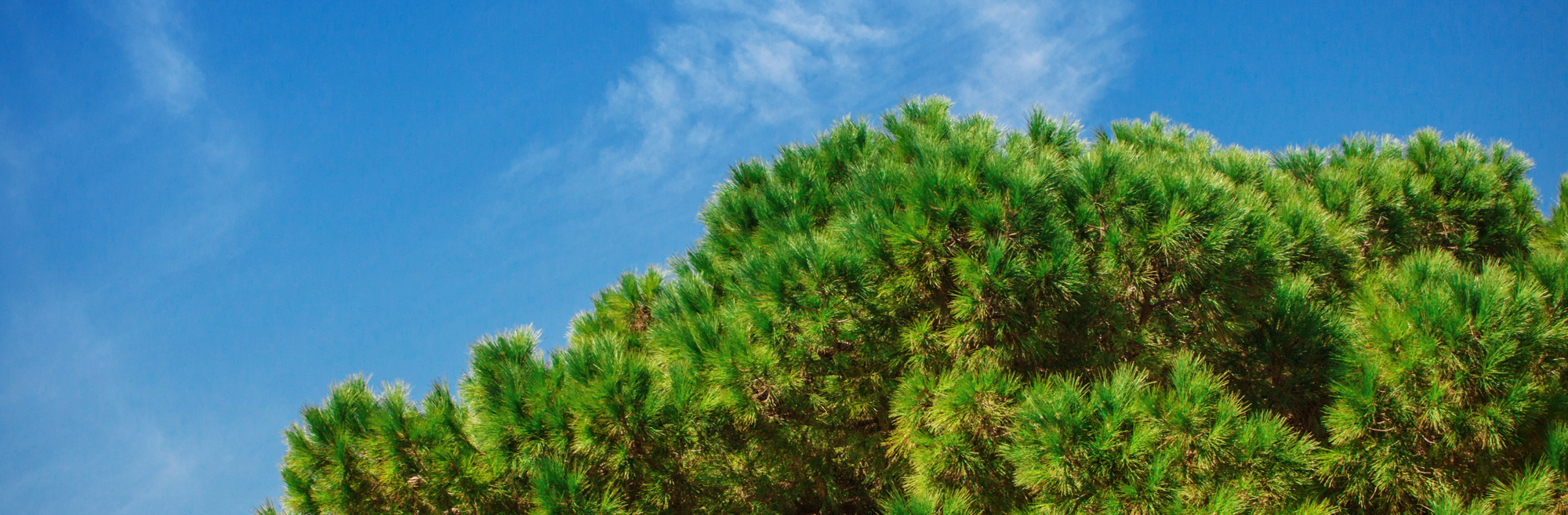pineflavour logo