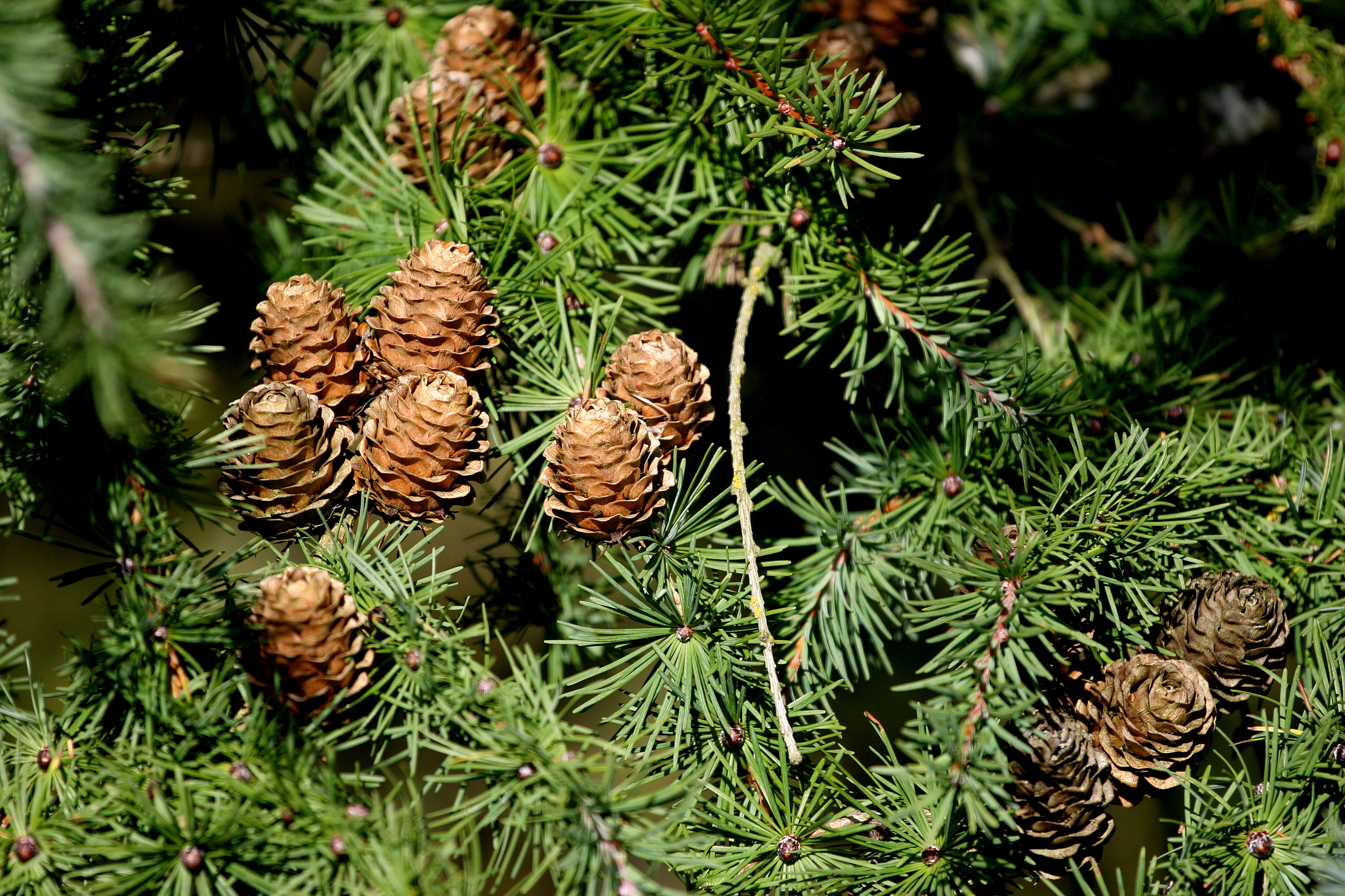 High production levels followed by pest explosion destroy pine nut culture